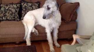 Irish wolfhounds not allowed on couch but yet they don't understand.