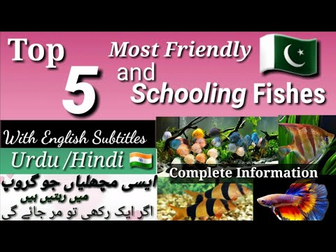 Top Schooling Fishes For Your Aquarium And Their Complete Information | Fish Prices In Pakistan