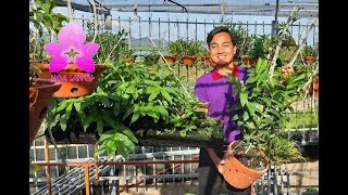Tham Quan Nhà Vườn Toàn Giò Lan Khủng Quang Hiền - Mộc Châu [HOALANTV]
