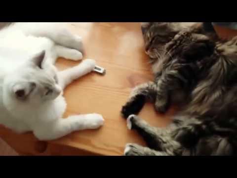 kot Ragdoll i Maine Coon, dwaj przyjaciele , the two friends