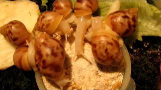 Ахатина. Вырастить улитку - это просто! / To grow the snail - it's easy!