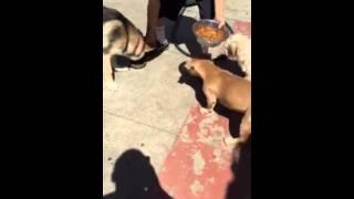 Pitbull Vs German Shepherd And Lil Poodle
