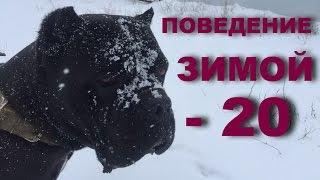 Порода собак Кане Корсо. Поведение зимой. Температура -20