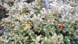 Willowood  Viburnums   Rhytidophylloides And Serviceberries Penn