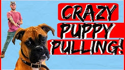 How to Obedience Train your Boxer Puppy - Dog Training with Americas Canine Educator