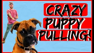 How to Obedience Train your Boxer Puppy  Dog Training with Americas Canine Educator