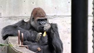 2012.10.06撮影 仙台市動物園のゴリラのドン君 今年43歳、日本国内最年...