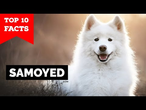 Samoyed - Top 10 Facts