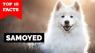 Samoyed  Top 10 Facts