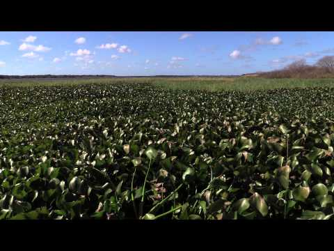 Florida Field Journal - Invasive Plants 2