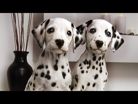 Dalmatian - dog breed .