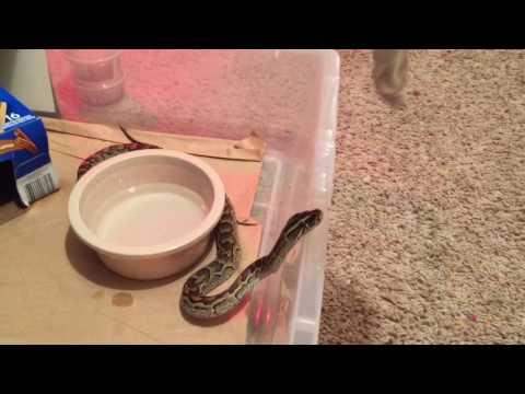 African rock Python feeding