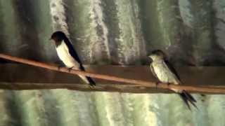 Red-rumped And Barn Swallows In North Queensland