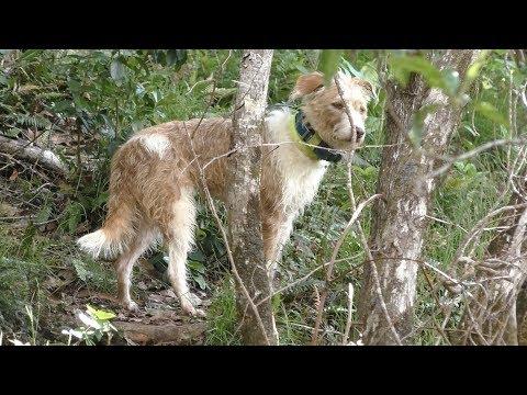 Kauai Hunting Deer And Pig With My Dog Tako