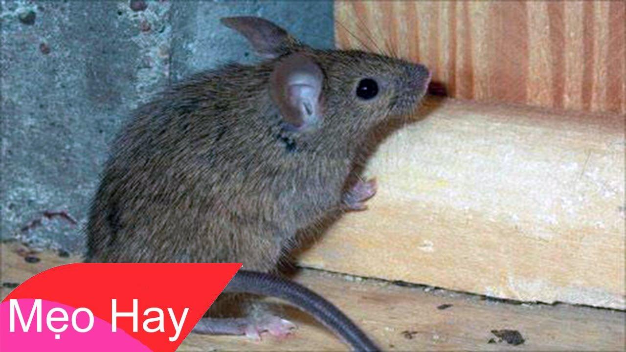 5 Mẹo Đuổi Chuột Không Cần Sài Bẫy Hay Nuôi Mèo – Đơn Giản Và Vô Cùng Hiệu Quả