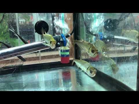 Payara Vampire Tetra - True Monster Fish