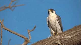 Peregrine Falcons (Female and Male) Thumbnail