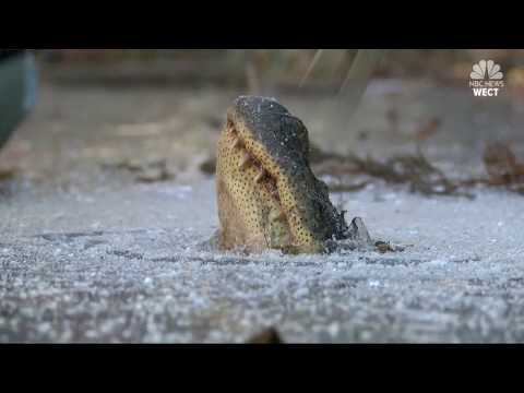 Alligators on Ice: North Carolina reptiles strong survival skills on show