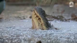Alligators on Ice: North Carolina reptiles strong survival skills on show