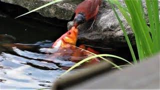 好心紅雀竟然在餵魚?!《國家地理》雜誌