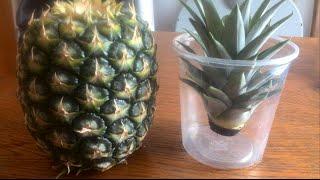 Ananaspflanzen selber ziehen Teil. 1