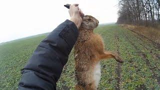 Охота на зайца - работа дратхаара в посадке