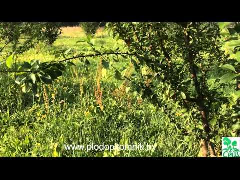 Слива сорта - Агро Сад