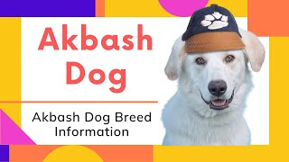 dogs: Akbash Dog Breed Information And Personality
