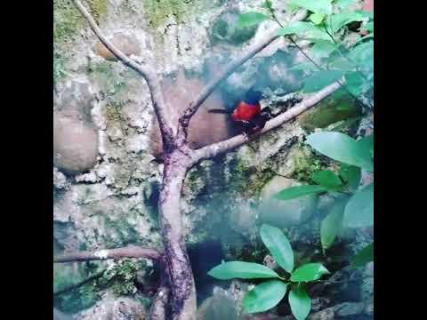 Proses burung Murai Batu kawin