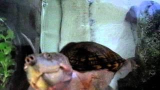 desperate : razorback musk turtle and goldfish