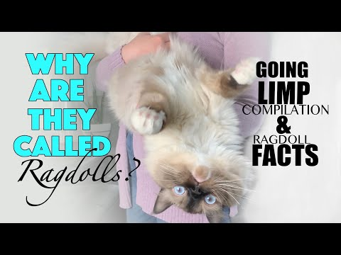 Ragdoll cat going limp Compilation | facts | Ragdoll kitten