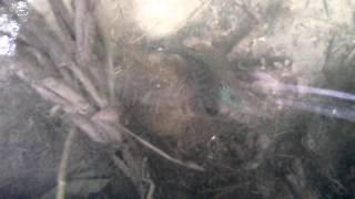 Солнечный окунь в прудах Кривого Рога