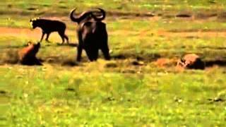 Rhino save Buffalo from Hyena | hyena attacks buffalo