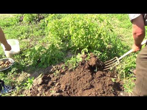 Potato harvest time 2017....3 different type of soils