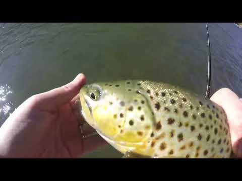 Nice Brown Trout On The Rio Grande