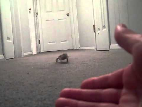bearded dragon running and playing - YouTube