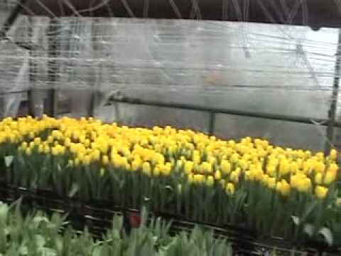 Терралит плюс на выгонке тюльпанов
