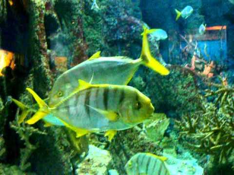 Peces de colores acuario de gij n youtube for Peces de colores para acuarios