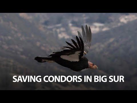 Saving Condors In Big Sur
