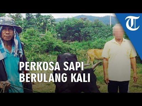 Kakek Ini Perkosa Sapi Berkali-kali, Tetangkap Tanpa Busana Saat Beraksi Di Hutan Dan Tanpa Celana