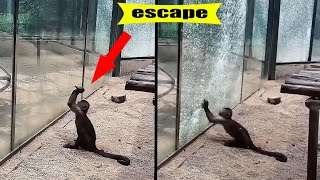 A selection of amazing cases of animals escaping from zoos and aviaries filmed on camera