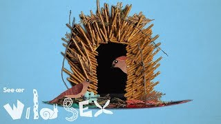 Male Bowerbirds Seduce Females with Interior Design Skillz thumbnail