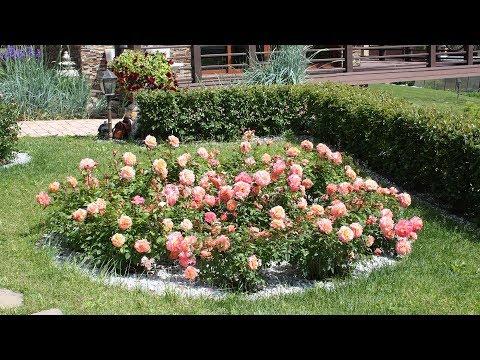 Королевские клумбы из роз в вашем саду!