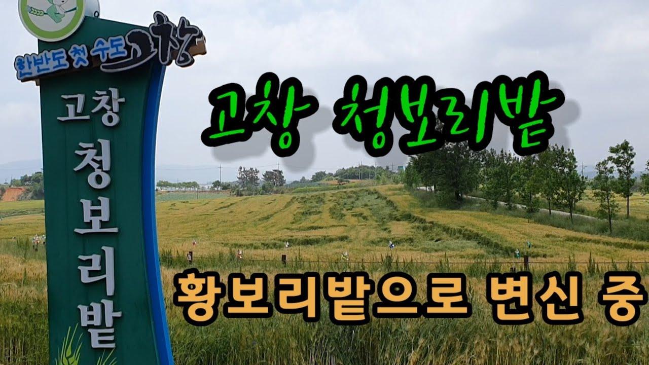 전북고창 청보리밭 황보리밭으로 변신 중 학원관광농장