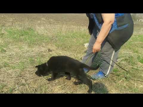 Немецкая овчарка Бандит фом Хаус Когор, 2,5 месяца. Начало обучения следовой работе.