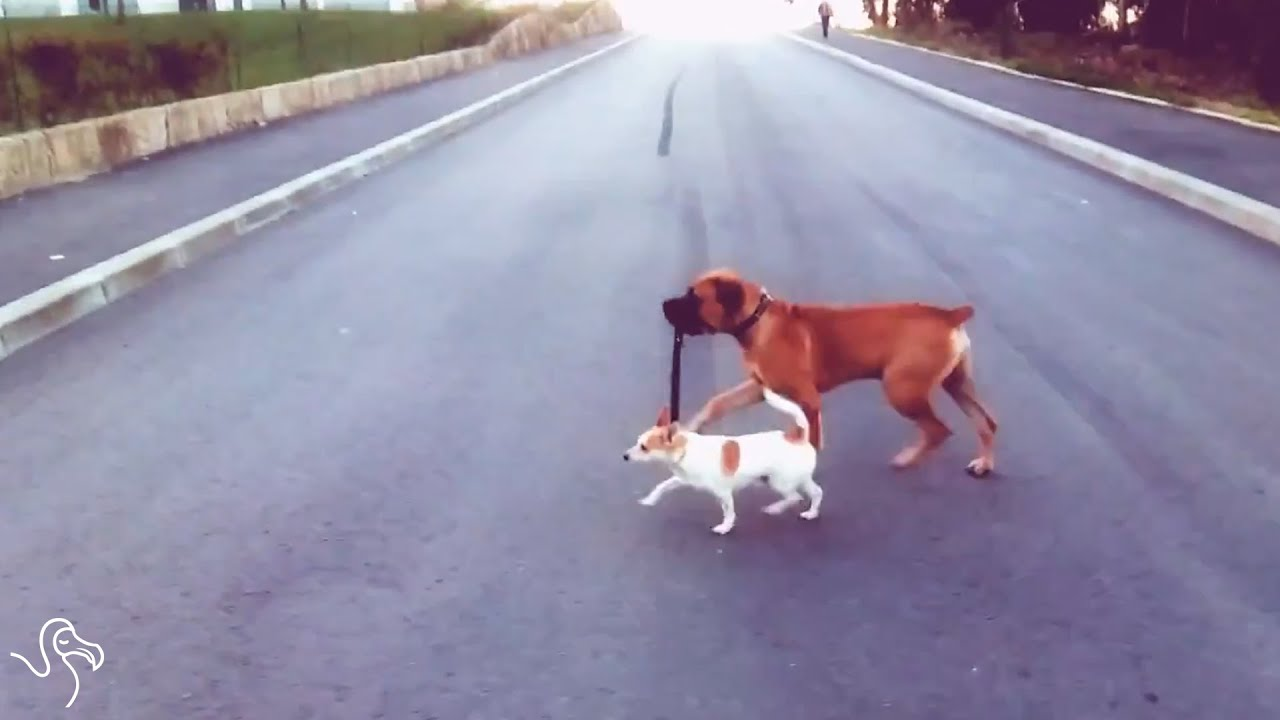 Image of: Two Dogs Dogs Walking Each Other Dog Training And Dog Boarding Dogs Walking Each Other Youtube