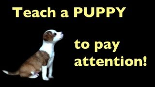 Teach Your Puppy To Pay Attention
