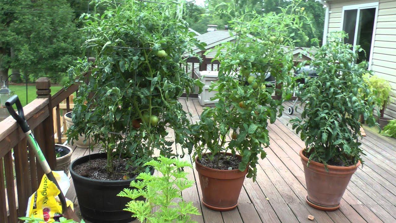 big boy tomato plant in pot st louis missouri summer