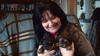 Yorkshire Terrier Welpen 5 Wo. Www.welpenvermittlung-hunde.at