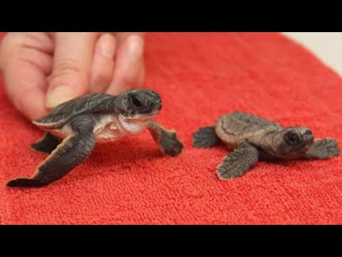Zoo Fosters Over 1,500 Baby Sea Turtles Displaced By Hurricane Irma